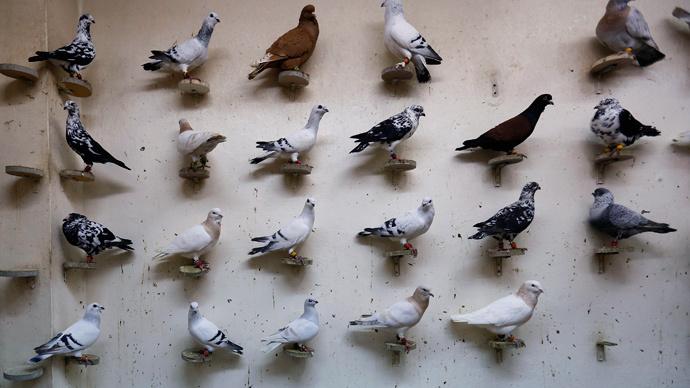 Isis piccioni banditi