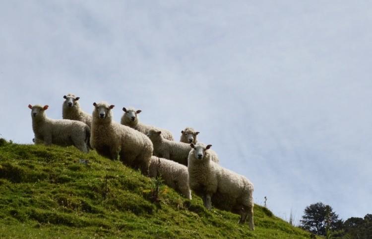 Il regno delle pecore