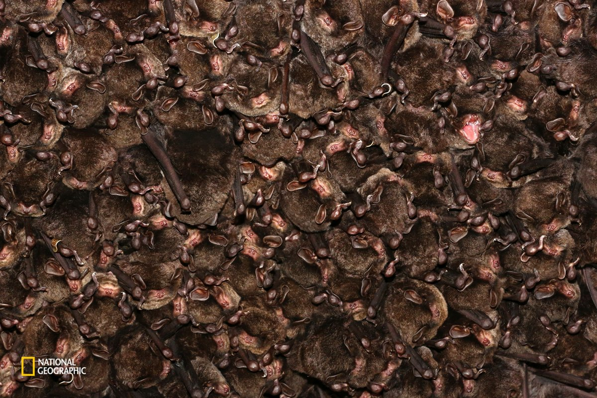 a-colony-ofeastern-bent-winged-bats-form-a-colony-for-hibernation-in-ozu-ehime-japan