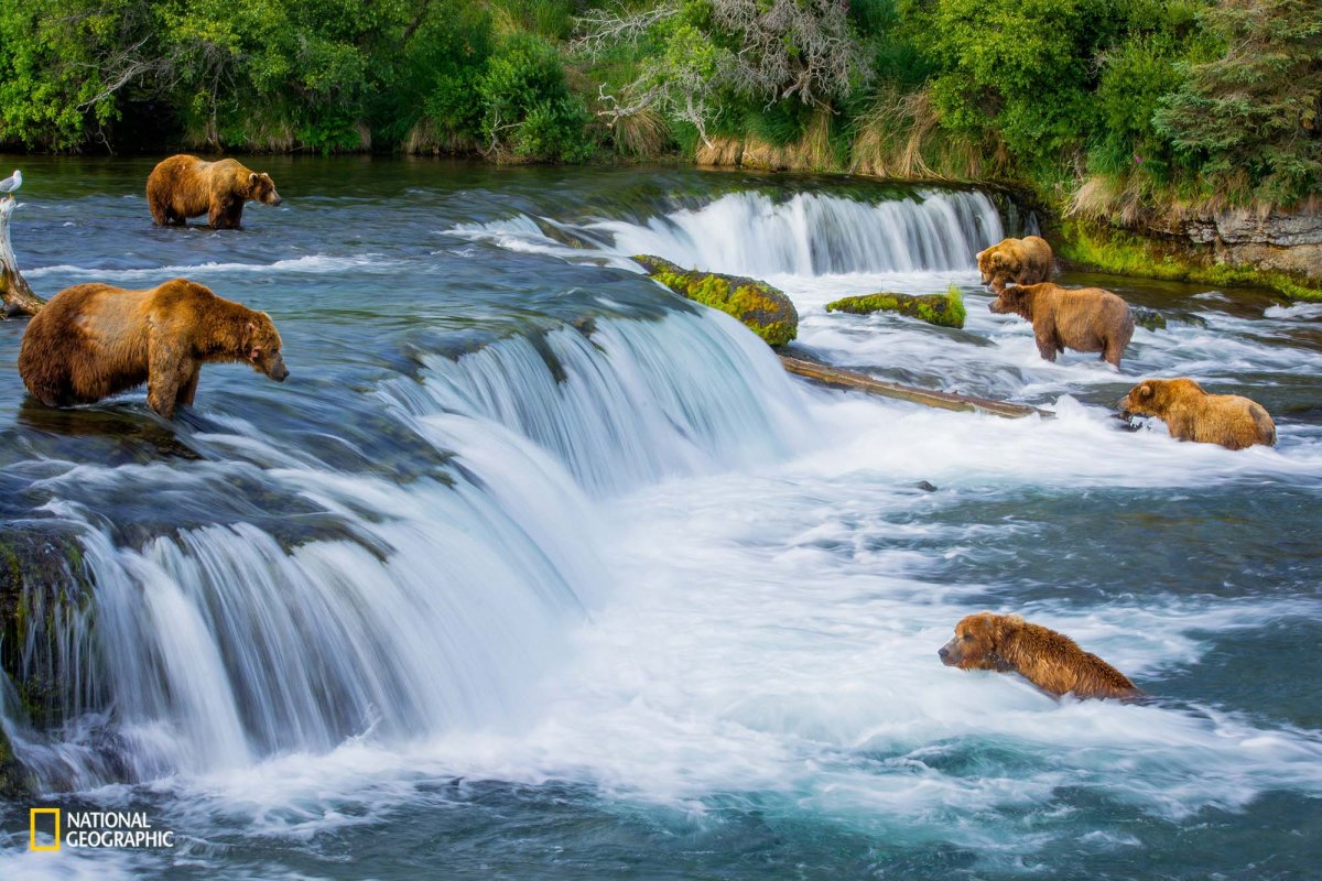 six-bears-feast-on-salmon-during-the-fishs-annual-spawning-return-to-their-birthplace-in-king-salmon-alaska